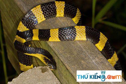 Vẻ ngoài của rắn Cạp Nong