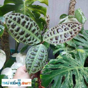 Labisia Turtle Back là giống cây bụi nhỏ