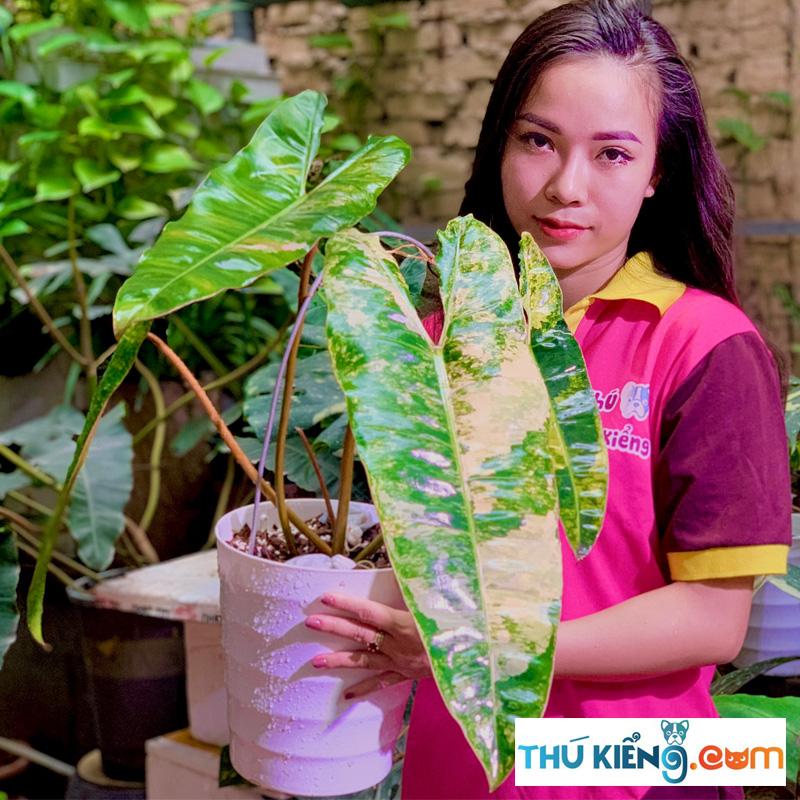 Philodendron Billietiae Var đột biến tại Thú Kiểng VN