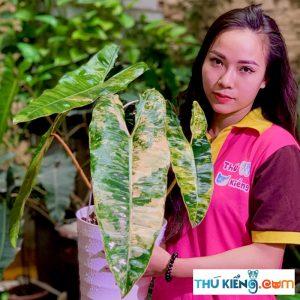Philodendron Billietiae Var hay còn gọi là cây Hồng Hạc