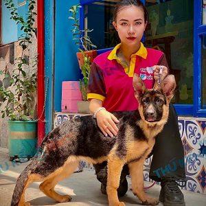 GERMAN SHEPHERD DOGS ( GSD BÉC-GIÊ ĐỨC )